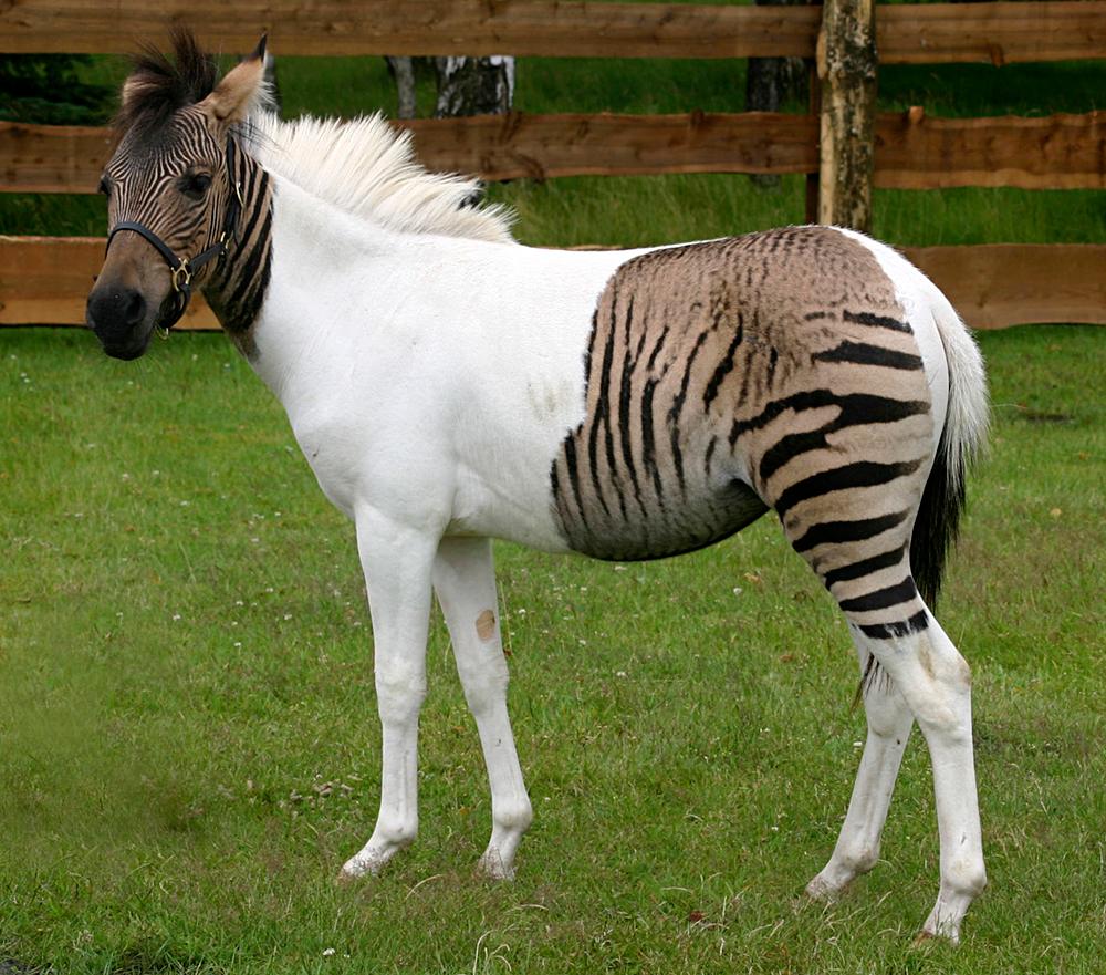 Zebra/Horse crossing