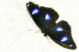 Samoa butterflies quickly evolve and avoid extinction