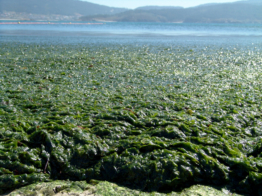 Japan experiments with seaweed as biofuel