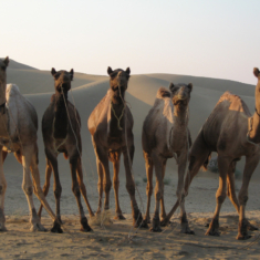 Camel beauty pageants become popular pastime in Saudi Arabia