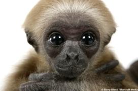 Baby Gibbon 01