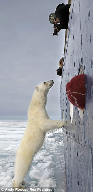 "Polar Bear in the arctic wonders ""what for lunch?"""