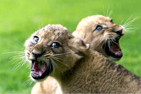Puppies and Flowers : African lion cubs born at Israel zoo. (To make up for the last post).