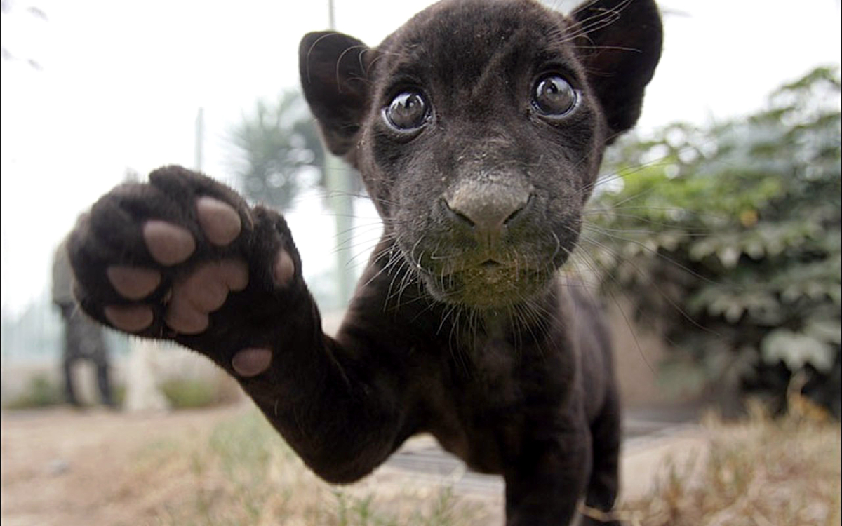 Black baby jaguar born in Peru