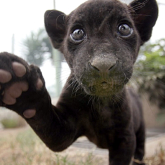 Black baby jaguar born in Peru