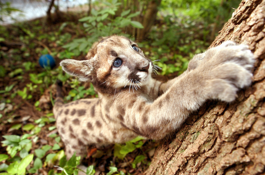 Lowry Park Zoo Cares For Panther Cub