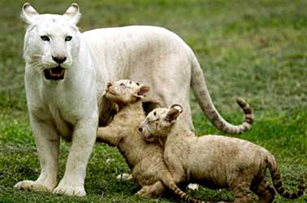 Litter of white Bengal tigers born in Mexico