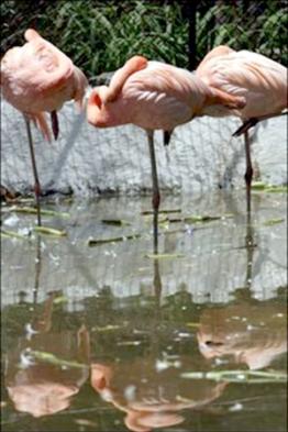 Gay flamingos, Carlos and Fernando, pick up chick