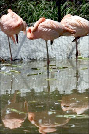 Gay flamingos, Carlos and Fernando, pick up chick