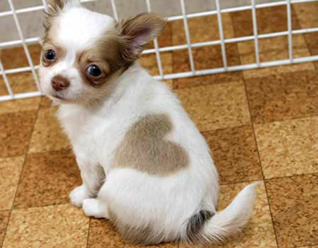 Chihuahua puppy born with love-heart pattern in fur