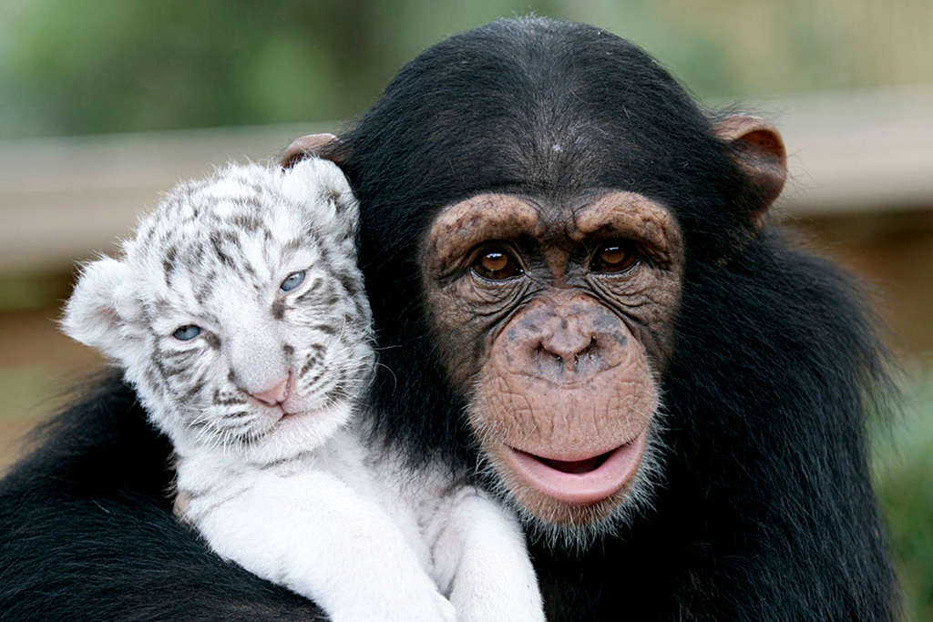 Monkey and White Tiger Cub