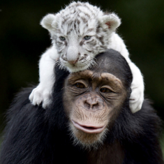 A Monkey and A White Tiger Cub