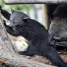 Puppies and Flowers : A Cute Binturong Cub