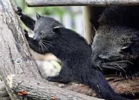 A Cute Binturong Cub