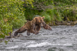 Instant Epic Photograph ~ Grizzly Air-Dives After A Salmon