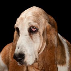 Puppy Dogs' Eyebrow Anatomy