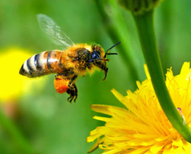 Why are all the Honey Bees disappearing?