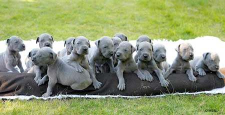 Puppies and Flowers : Great Dane dog tired after giving birth to amazing litter of 15 puppies