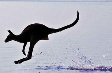 Kangaroo Injured In Low-Speed Chase Through Alps