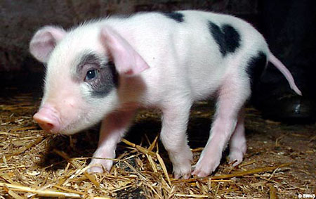 Puppies and Flowers : Pig born with love-heart pattern in fur