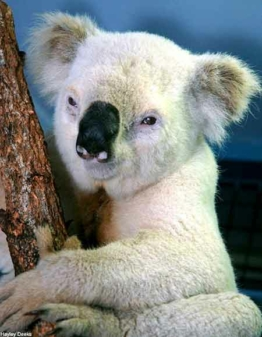 rare white koala bear